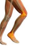 Funktion, Aufbau und Anatomie der Kniemuskulatur bzw. Kniemuskeln