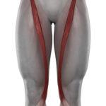 Sartorius Muskel (Musculus sartorius) - Anatomie, Definition und Verletzung