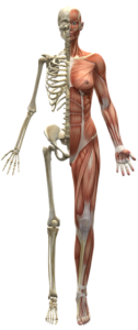 Endomysium – Definition, Lage und mögliche Erkrankungen