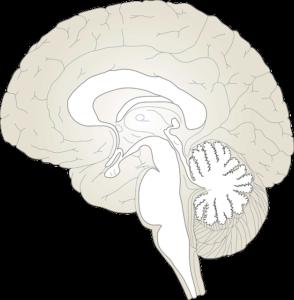 Hirnhäute – Anatomie, Innervation und mögliche Erkrankungen