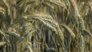 Roggenallergie – Welche Lebensmittel enthalten Roggen?
