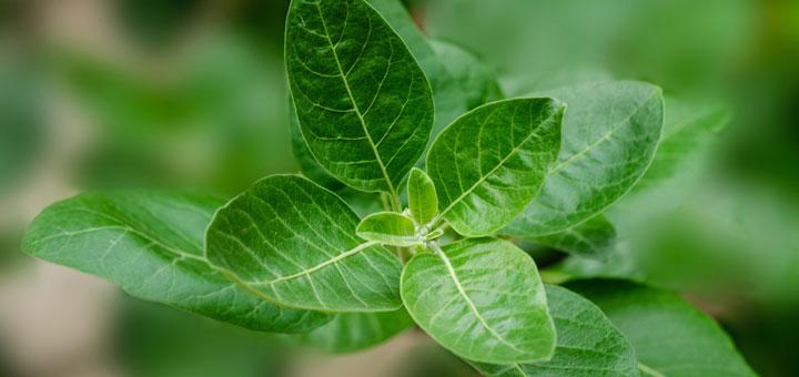 Ashwagandha ist eine bekannte Heilpflanze der ayurverdischen Medizin