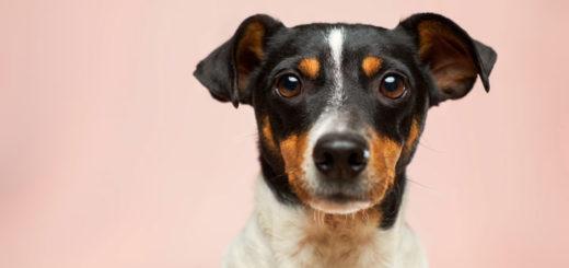 Hund mit aufgestellten Ohren erwartet CBD Öl