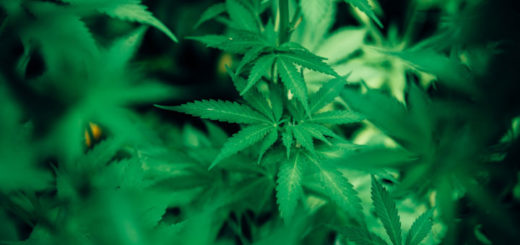 CBD Pflanze bei krebs