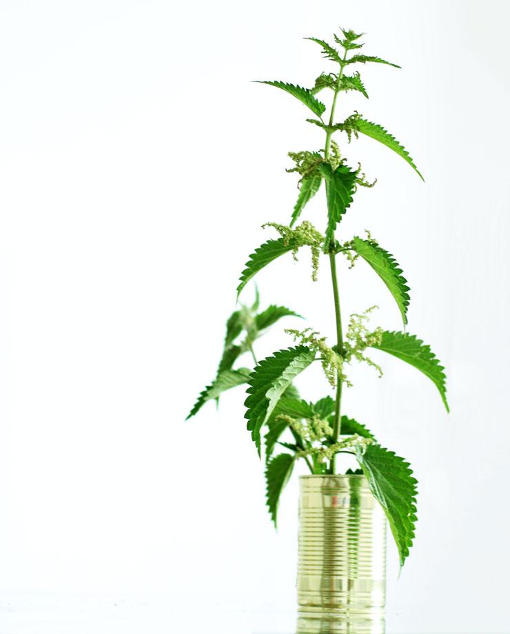 Brennnessel als Heilpflanze in der Medizin